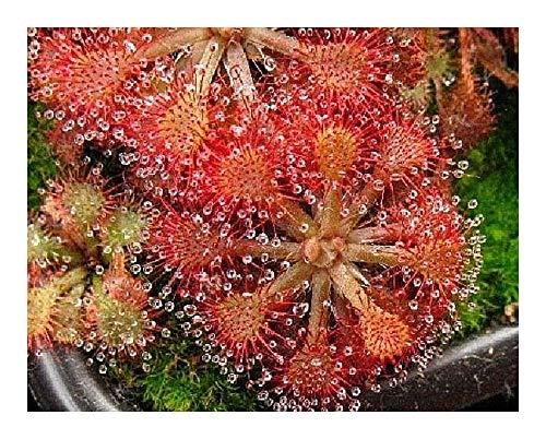 Drosera cistiflora mauve - sundew - 10 seeds