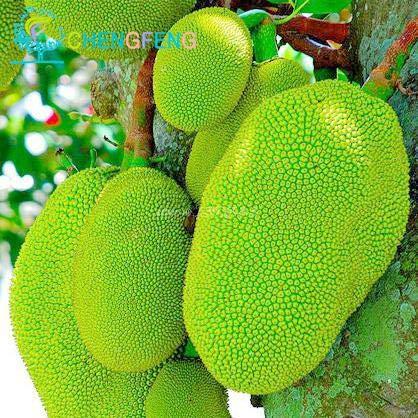 Pinkdose® Tropische Samen für Jackfrucht, Bonsai, Riesensamen, Miracle Fruit * Arbre Fruitier En Pot Garden Seed Pl