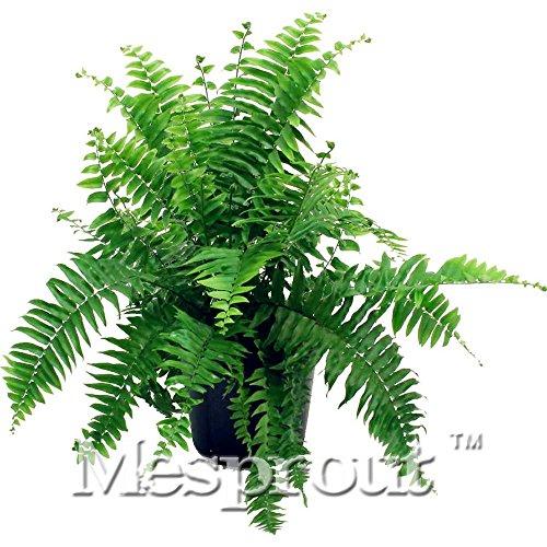 ! 100PCS japonais rares fougère graines Creeper Boston, vignes, plantes grimpantes, ornemental Bonsai Graines