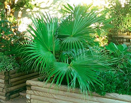 100 graines | Sabal minor Nain Palmetto Palmier | Cultures fraîches | Hardy à la zone 7