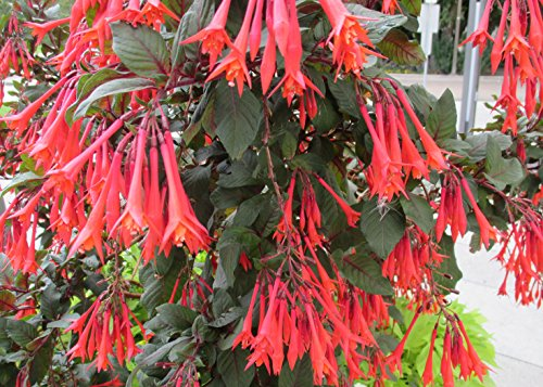 Honeysuckle Fuchsia is one of over 110 species that comprise the genus Fuchsia .: Fuchsia triphylla (English Edition)