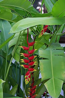 Best giant lobster claw plant Reviews