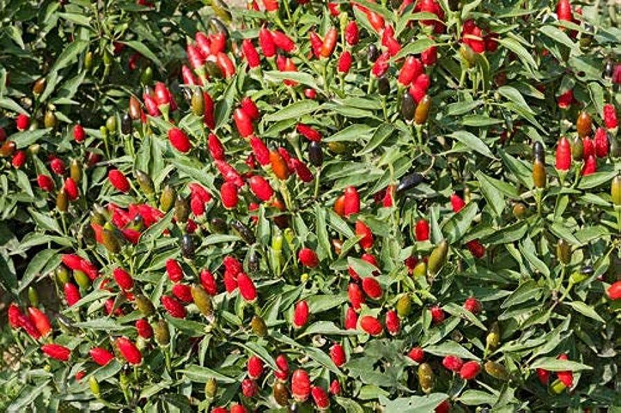 落ち着いたいつもファイルエクストリームホットタイチリ - ほとんどのホットタイチリ品種の一つ - 15個の種子