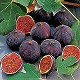 FICO SIMILE-FICUS CARICA- VIOLA DOMENICO TAURO- albero da frutto da esterno pianta vera Ø 19 cm - h 150 cm