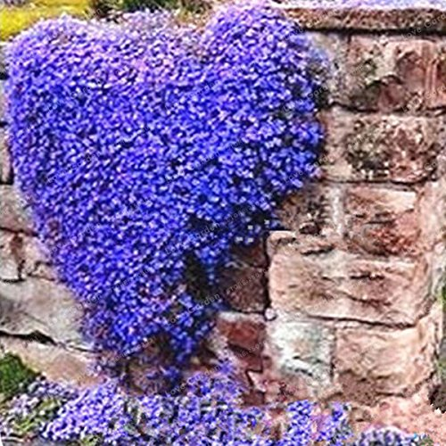 100 Creeping Thyme Samen Blumensamen-Felsen-Kresse-Samen Bodendecker Teppich Immergrüne Pflanze leicht anzubauen Für Garten Rasen 3
