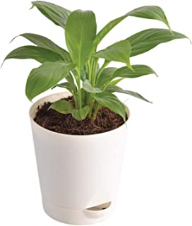 Ugaoo Peace Lily Plant with Self Watering Pot - Spathiphyllum Plant