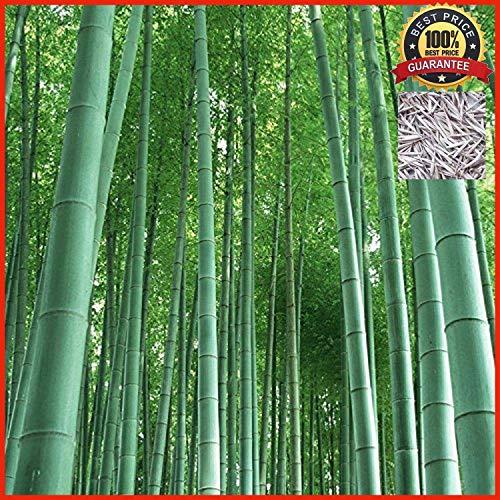 200 graines de frais Moso bambou Graines Phyllostachys pubescens géant Bamboo - HARDY