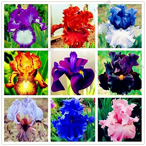 HONIC 11: 50pcs / Bag Iris Orchidee Pflanze Bonsai Schmetterlings iris Blumensamen mehrjährige Pflanze f