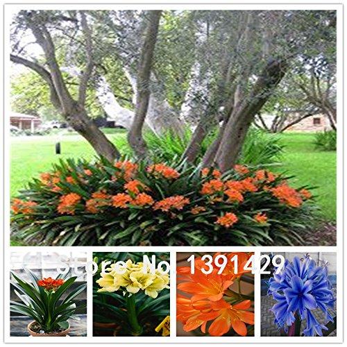 100 pezzi = $ 0.09 Semi Clivia economici, Bella Pianta in vaso, 24 colori da scegliere, Bonsai balcone fiore, decorazione del giardino