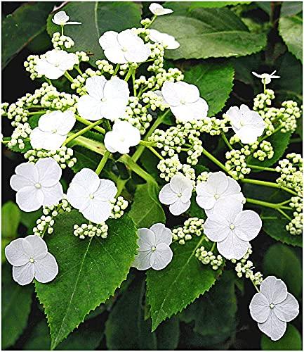 BALDUR Garten Kletter-Hortensien 'Semiola®', 1 Pflanze, Hydrangea petiolaris, blühende Kletterpflanze winterhart