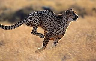 Cheetah Running/Animal Poster Print (Size:13x19 inch)