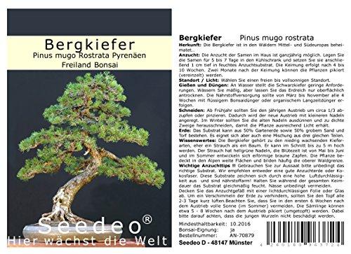 Seedeo® Bergkiefer (Pinus mugo Rostrata Pyrenäen) Bonsai 25 Samen