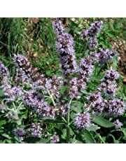 Plant World Seeds - Mentha Longifolia (buddleia Mint) Seeds
