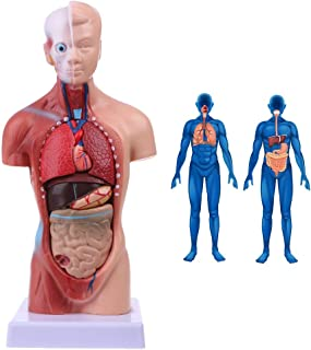 YXZQ 28CM Human Torso Body Model - Detachable15 Parts Anatomical Medical Internal Organs Medical Teaching Model - for Medi...