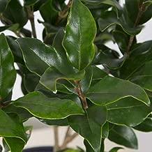 Plants by Mail 2.5 Qt - Waxy Curly Leaf Ligustrum, Green Evergreen Shrub