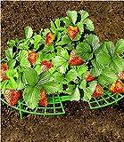 Erdbeeren-Reifer, 5 Stück