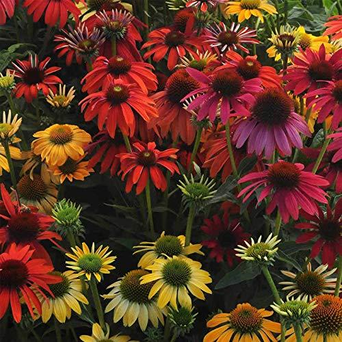 FERRY Bio-Saatgut Nicht nur Pflanzen: Cheyenne Spirit ECHINACEA Gartensamen (Roter Sonnenhut) - Seeds
