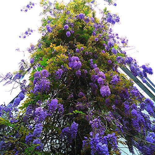 15 Graines Particules / Sac Bonsai Bleu Plante Wisteria Arbre intérieur Graines Plantes ornementales Graines Wisteria fleurs