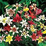 10 Zwiebeln Baumlilien Lilien Riesenlilie'Asiatischer Lilien Mix' bis 150cm Zwiebeln winterhart duftend Sommerblüher