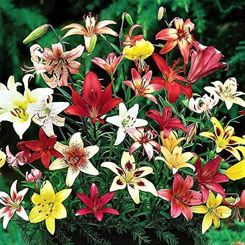 """10 Zwiebeln Baumlilien Lilien Riesenlilie\""""Asiatischer Lilien Mix\"""" bis 150cm Zwiebeln winterhart duftend Sommerblüher"""