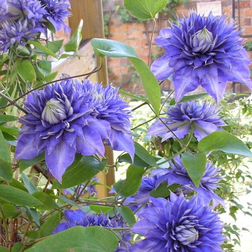 3 Clematis Multi Blue (Waldrebe) - 3 Kletterpflanzen - Blau und Winterhart - 3 x 1,5 Liter Topfen | ClematisOnline