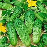 AIMADO Samen-100 Pcs veredelt Gurken Samen Picolino F1, Bio Snack-Gurke zum Reinbeißen,Für Freiland und Gewächshaus