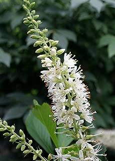 Sugartina Clethra alnifolia Crystalina 4 Inch Pot AG002 Summersweet Proven Winners AG002