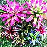 Bloom Green Co. 100 Unids Bromelia Rara Vegetales y Jardín de Frutas Plantas Suculentas Mini Macetas de Cactus Semillas de Crecimiento Natural para Jardinería en el Hogar: 4