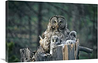 "Great Gray Owl with owlets in nest Cavity ATOP snag, Spring, Idaho-Canvas Art-30""x20"""