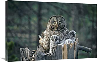 """Great Gray Owl with owlets in nest Cavity ATOP snag, Spring, Idaho-Canvas Art-30""""x20"""""""