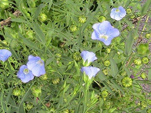 15 graines de lin bleu HIGH BLEU CIEL FLEURS OMEGA 3 SOURCE
