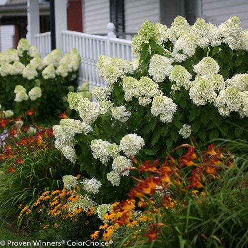 验证获奖者 - 绣球花锅。'Limelight'(Panicle绣球花)灌木,白色/石灰到粉红色的花朵,#3尺寸容器