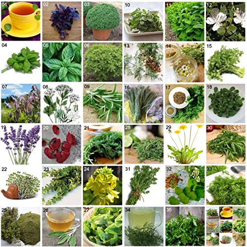 HONIC 34 Fenchel - Foeniculum vulgare: Kräutersamen Mediterranean Garden 35 Sorten Aromatische Gewürze Pflanzen