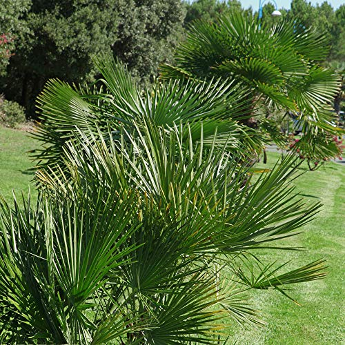 You Garden Limited Chamaerops Humilis Hardy Fan Palm in 5 Litre Pot, Multi-Colour, 70