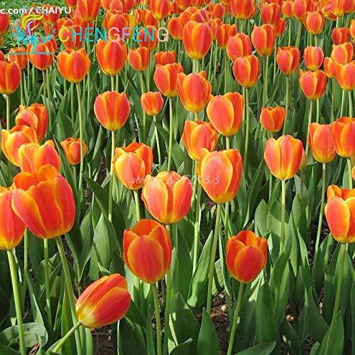 Pinkdose 2016 Nouveau! Voir 30 Pcs/lot rare Tulip voir Flower Garden Bonsai Plantes en pot Sementes De Flores voir Accueil Jardin Décoration Pot: Multicolore