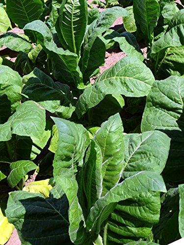 Perique-Tabak (Nicotiana tabacum) 500 Samen, starke Sorte aus Louisiana