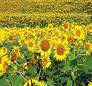 200 Peredovik Sunflower Seeds ~ Game Birds & Deer Favorite~ Plot Food Wildlife ~