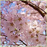 桜(サクラ)苗木 江戸彼岸桜