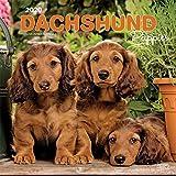 Dachshund Puppies - Dackelwelpen 2020 - 16-Monatskalender mit freier DogDays-App: Original BrownTrout-Kalender [Mehrsprachig] [Kalender] (Wall-Kalender)