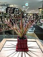 ドラセナ コンシンネ 観葉植物 鉢植え 陶器 マジナータ 風水 インテリア 北欧 おしゃれ ギフト お祝い ヴィヴィドレッドポット