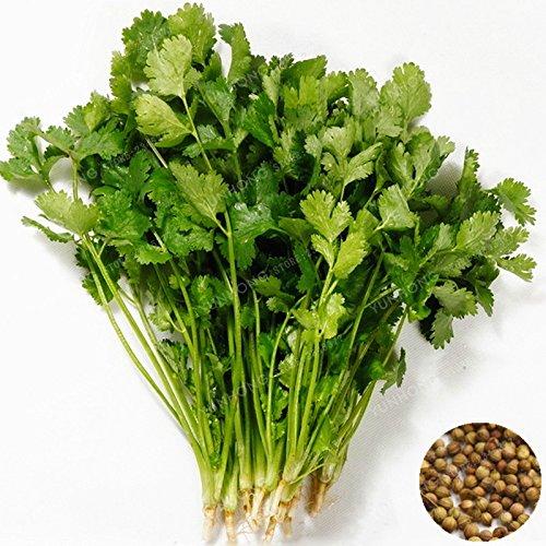 50 Pcs Coriandrum sativum Semences potagères Balcon persil Semences Quatre saisons est possible de cultiver Coriandre Graines Plantes pour jardin