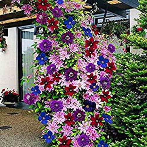 SummerRio Garten- 100 Pcs Clematis Kletterpflanzen Clematis Saatgut Blumensamen Winterhart Armandii Clematis Immergrün Mehrjährig Blumensamen Mischung