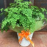 アジアンタム フラグランス ふわふわ 可愛い葉 シンプルの籐カゴ ( バスケット入り )タイプのお得セット価格 ちょっとした お祝い 誕生日 や プレゼント などにも
