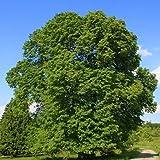 Baum des Jahres 1991 - Sommerlinde im Container Größe 125 bis 150 cm