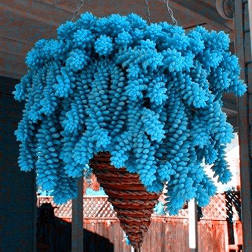 mymotto 50PCS Blu semi di épinette in vaso bonsai Picea Albero semi giardino Pino Albero semi