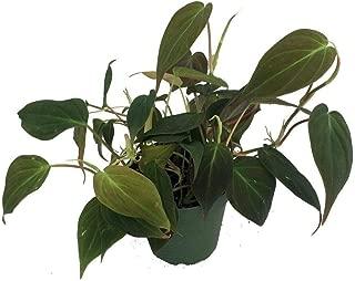 Philodendron Live Plant Velvet Bronze Sheet Small Vineyard 4