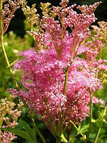 Portal Cool 40 Queen Of The Prairie Rosa Mädesüß Filipendula rubra Blumensamen Kämme/H