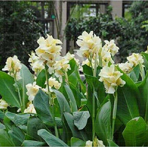 Graines de fleurs bonsaï Canna SEEDS - HERMINE - USINE DE MAISON TROPICALE - BLANC FLEURS Décoration de jardin en pot 10seeds B095