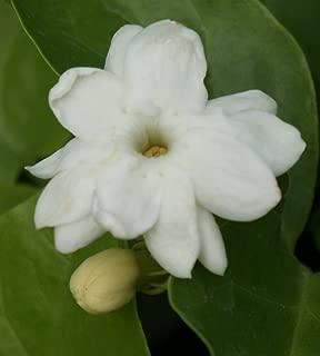 Higarden pack white jasmine flower seeds, fragrant Arabian jasmine plant,., DIY home
