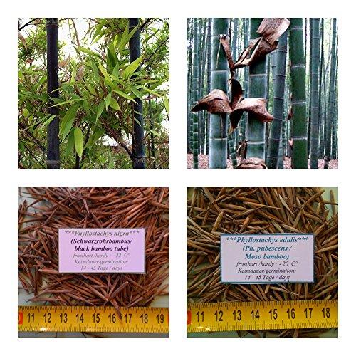 Phyllostachys nigra und Phyllostachys edulis - je 20 Samen (gesamt 40) - frosthart (-20 bis - 22 C°)
